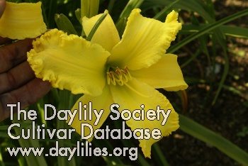 Daylily Photo - Yellow Viper