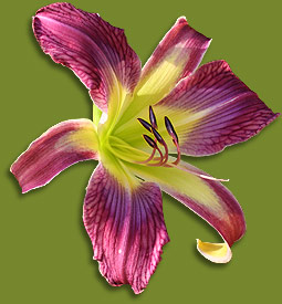 veined daylily bloom